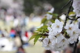 花見の客を見る桜の写真素材 [FYI00395278]