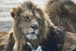 昼下がりのライオンの写真素材 [FYI00395667]