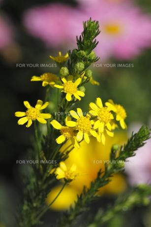 ゴールデンクラッカーの花の写真素材 [FYI00395832]