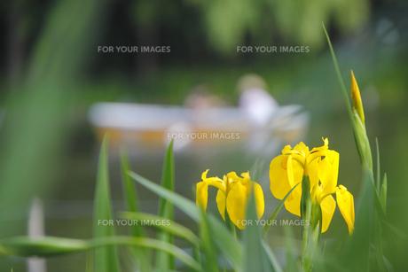 池の花菖蒲の写真素材 [FYI00395869]