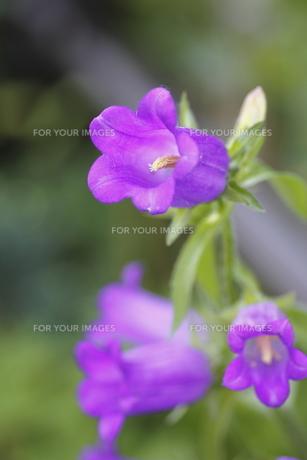 カンパニュラの花(紫・左向き)の写真素材 [FYI00395947]