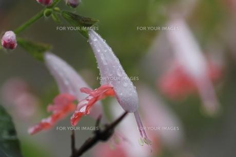 サルビア・コクネシアの花(アップ)の素材 [FYI00395955]