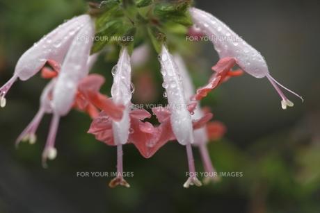 サルビア・コクネシアの花の素材 [FYI00395958]
