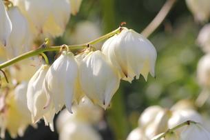 アツバキミガヨランの花(1枝)の素材 [FYI00395992]