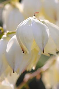 アツバキミガヨランの花(アップ)の素材 [FYI00396004]
