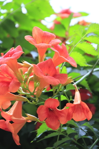 ノウゼンカズラの花(オレンジ色)の写真素材 [FYI00396101]