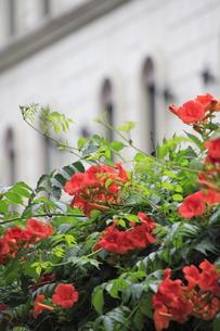 ノウゼンカズラの花と洋館風建物の写真素材 [FYI00396120]