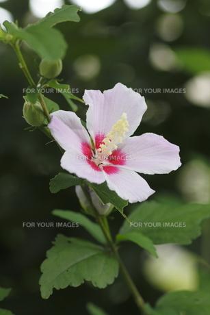 ムクゲの花(縦)の写真素材 [FYI00396228]