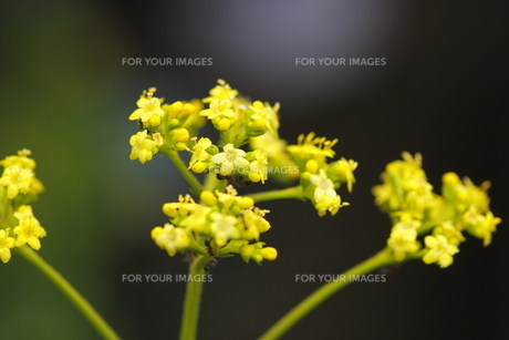 オミナエシの花の写真素材 [FYI00396240]