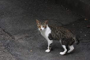警戒する野良猫の写真素材 [FYI00396242]