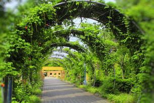 山下公園の緑のトンネル(ノウゼンカズラ)の写真素材 [FYI00396314]