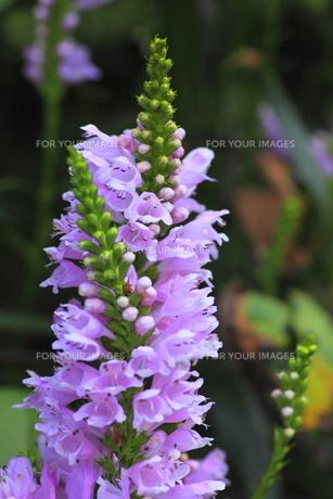 ハナトラノオの花の写真素材 [FYI00396415]
