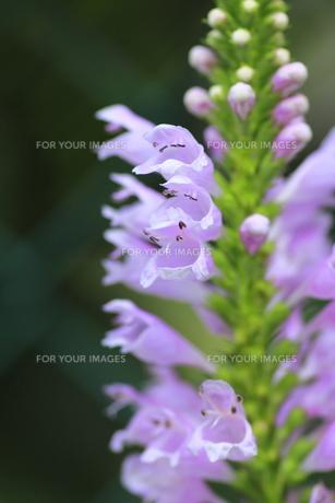 ハナトラノオの花(アップ)の写真素材 [FYI00396422]
