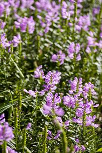 ハナトラノオの花(たくさん・縦)の写真素材 [FYI00396623]