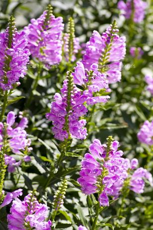 ハナトラノオの花(斜めから俯瞰)の写真素材 [FYI00396632]