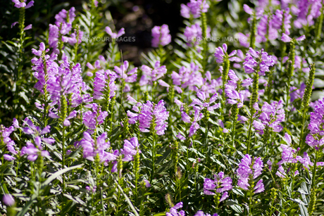 ハナトラノオの花(たくさん・横)の写真素材 [FYI00396633]