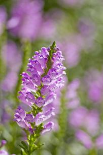 ハナトラノオの花(1房アップ)の写真素材 [FYI00396636]