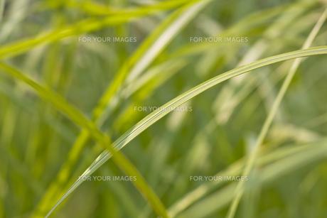 オヒシバの葉のスロープの写真素材 [FYI00396639]