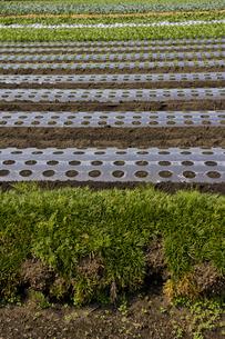 ほうれん草の畑の層の写真素材 [FYI00396712]
