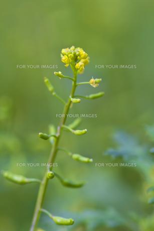 イヌナズナの花の写真素材 [FYI00396734]
