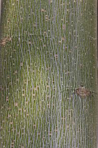 アオギリの樹皮の写真素材 [FYI00396800]