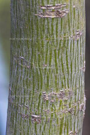 アオギリの樹皮(若木)の写真素材 [FYI00396805]