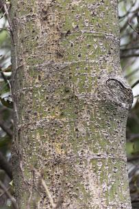 アオギリの樹皮(老木)の写真素材 [FYI00396812]