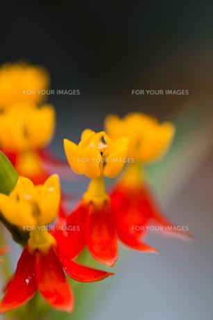 トウワタの花-2の写真素材 [FYI00396831]