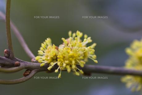 シロダモ(クスノキ科)の花-1の写真素材 [FYI00396849]
