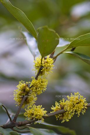 シロダモ(クスノキ科)の花-2の写真素材 [FYI00396855]
