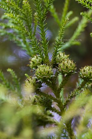 杉の実-2の写真素材 [FYI00396856]