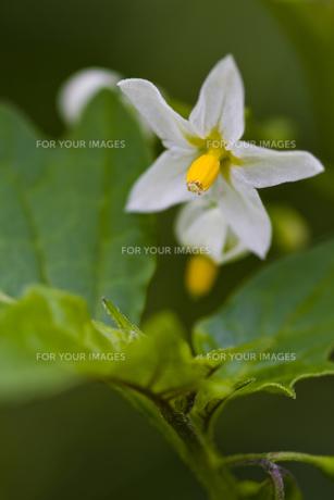 イヌホオズキの花の写真素材 [FYI00396858]