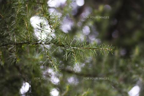 ヒマラヤスギの葉の写真素材 [FYI00396859]