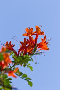 ヒメノウゼンカズラの花-4の写真素材 [FYI00396861]