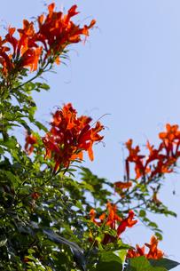 ヒメノウゼンカズラの花-2の写真素材 [FYI00396862]