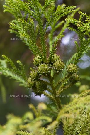 杉の実-1の写真素材 [FYI00396866]