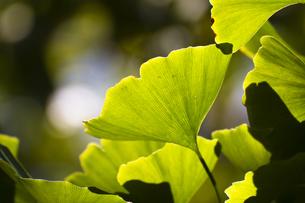 イチョウの葉(逆光・アップ)の写真素材 [FYI00396868]