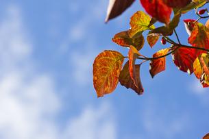 ハナミズキの紅葉(アップ・横)の写真素材 [FYI00396873]