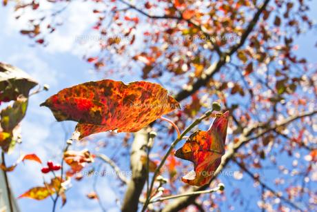 ハナミズキの紅葉(仰視)の写真素材 [FYI00396875]