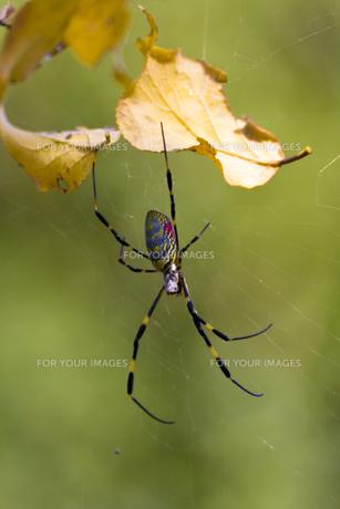 網を張るジョロウグモの写真素材 [FYI00396876]