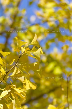イチョウの黄葉(背景ボケ)の写真素材 [FYI00396879]