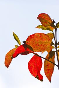 ハナミズキの紅葉の葉脈の写真素材 [FYI00396881]