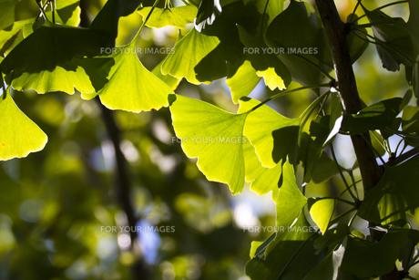イチョウの葉(逆光)の写真素材 [FYI00396882]