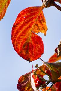 ハナミズキの紅葉(アップ・縦)の写真素材 [FYI00396883]