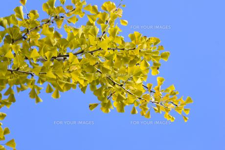 イチョウの黄葉(青空バック)の写真素材 [FYI00396884]