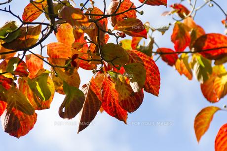ハナミズキの紅葉(横)の写真素材 [FYI00396886]
