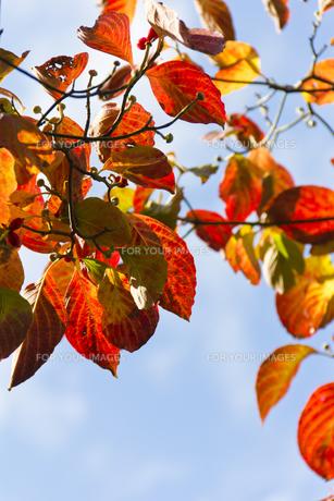 ハナミズキの紅葉(縦)の写真素材 [FYI00396890]