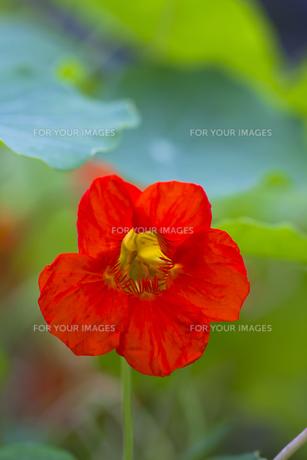 ナスタチウムの花(赤・アップ)の写真素材 [FYI00396892]