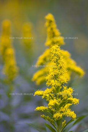 セイタカアワダチソウの花・2の写真素材 [FYI00396893]