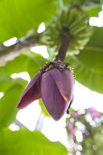 バナナの花(仰視)の写真素材 [FYI00396895]